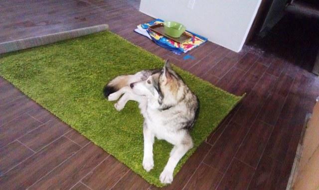 Dog lying on green shag rug