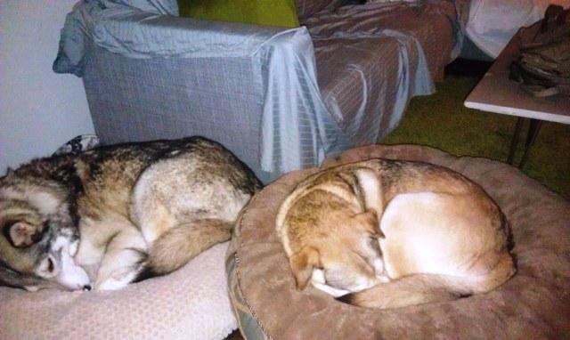 Sleeping Malamutes