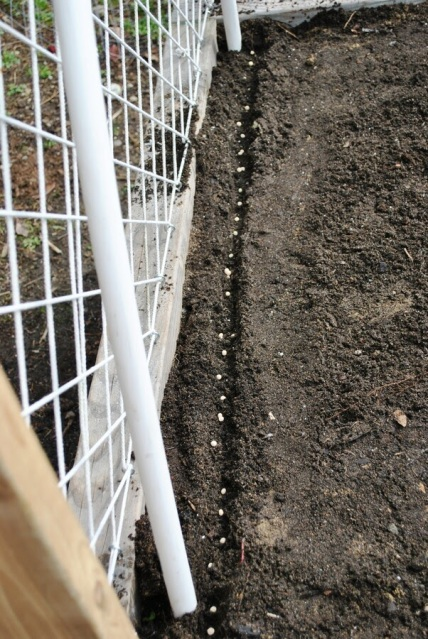 Peas planted next to diy trellis
