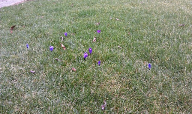 Crocus blooming in the lawn