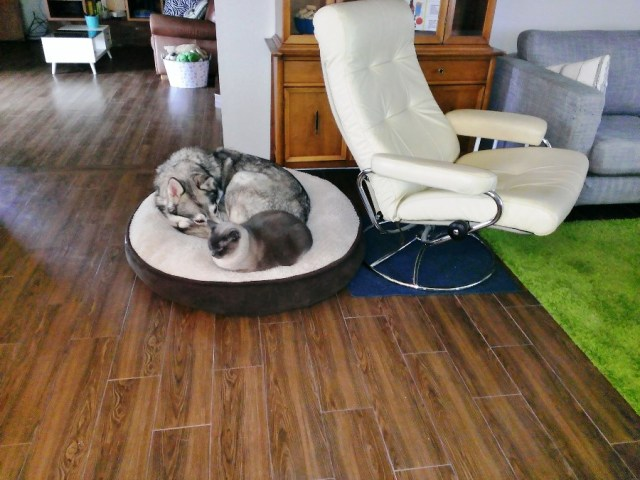 curled up malamute sleeping next to a cat