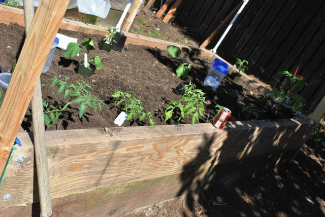 tomatoes in a raised garden bed