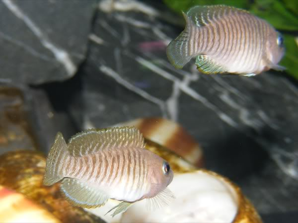 multifasciatus in shell bed