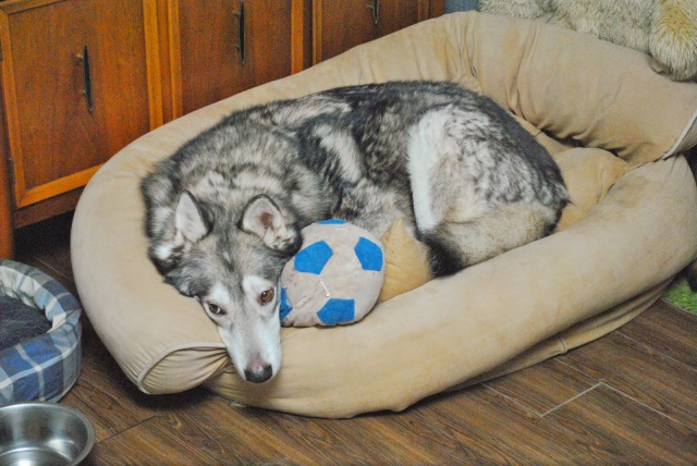 malamute cuddling with stuffed soccer ball