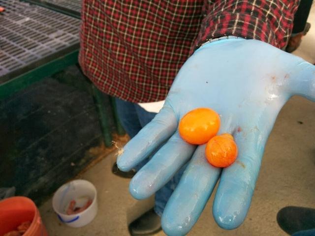 undeveloped yolks