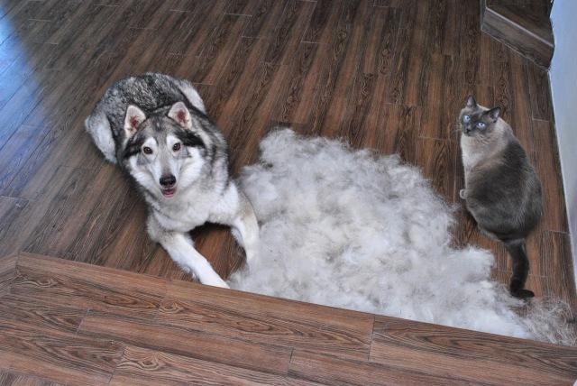 shedding malamute