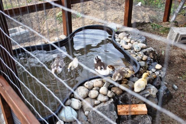 ducks enjoying a swim in their pond