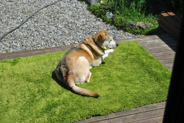 dog laying on a rug outside