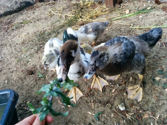 ducks eating kale
