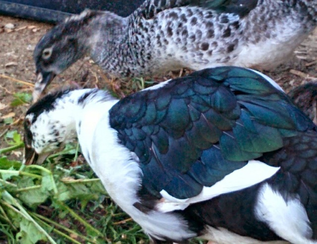Black and white pied male muscovy duck