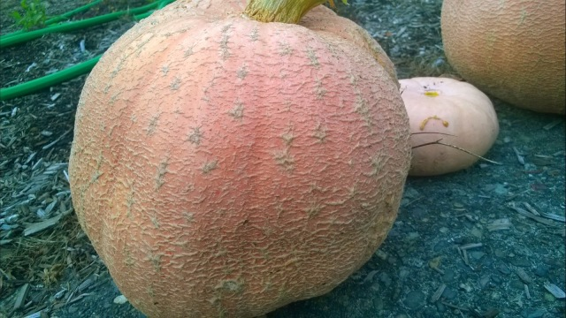 galeaux d'eysines pumpkins