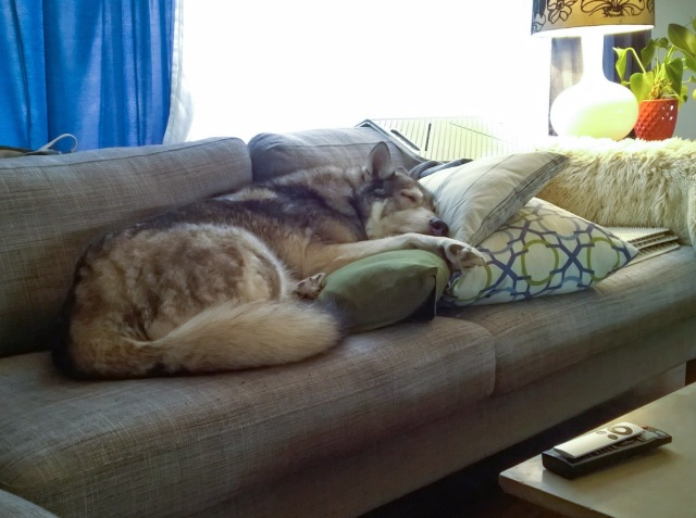 malamute asleep on the sofa